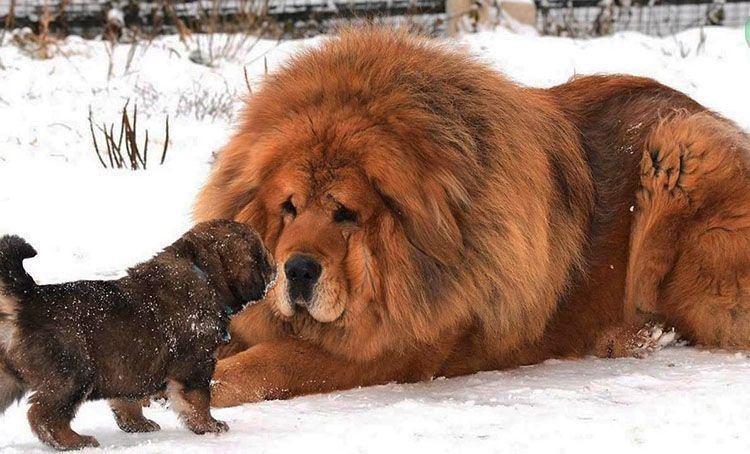 Cuál es el perro más caro del mundo